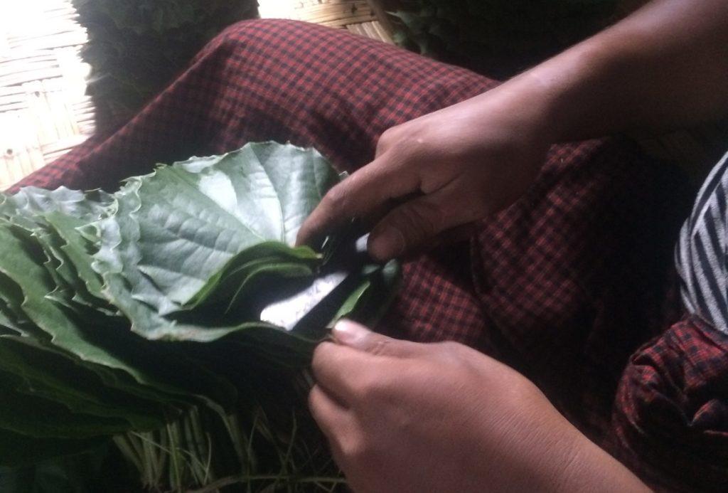 タナぺ栽培の様子